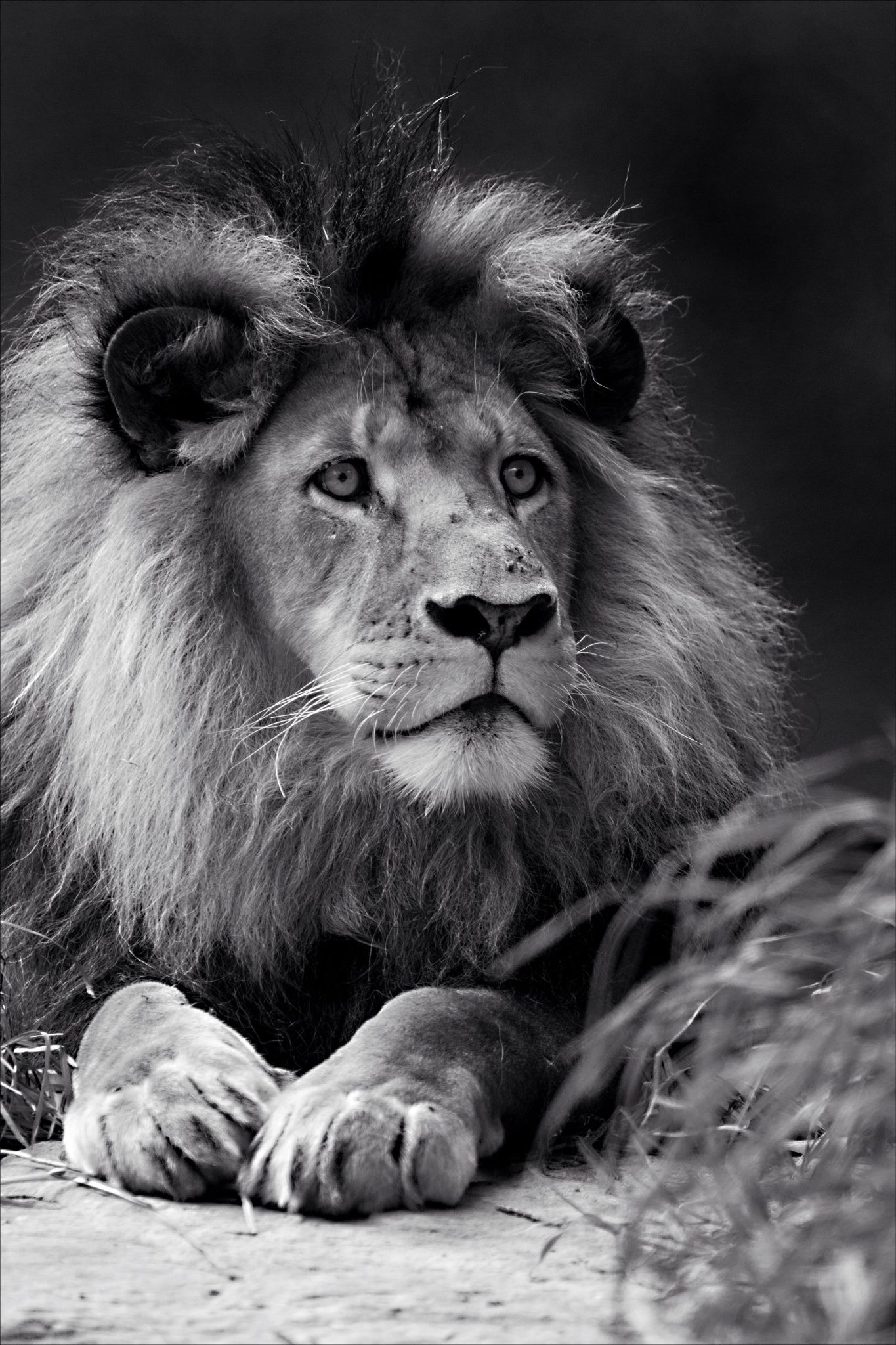 Bad Hair Day Beautiful Lion Black And White Lion Male Lion