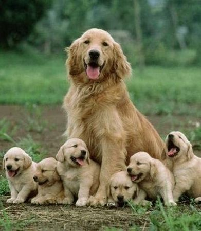 Pin By Reds On Dogs Retriever Puppy Cute Animals Dogs Golden