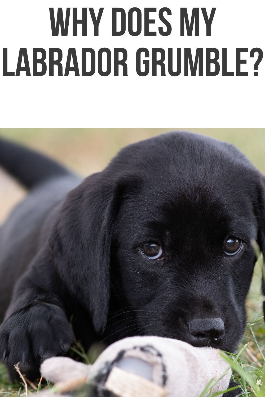 Silver labrador puppies for sale mn 2020