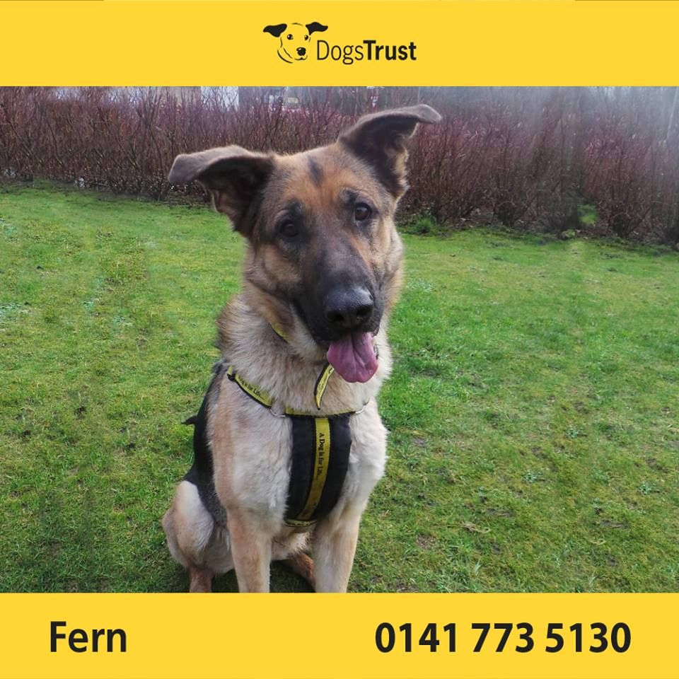 Fern is a gorgeous 1 year old GSD X from Dogs Trust Glasgow, who is a little nervous in new situations.  She is a very gentle and loving girl who is looking for an owner who will help bring her out of her shell.