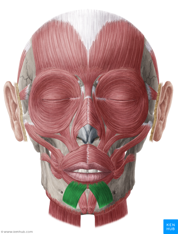 Depressor Labii Inferioris Muscle | Muscle, Vein, Artery, Nerve ...