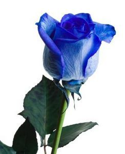 How To Dye A White Rose Diffe Color Blue Roseswhite