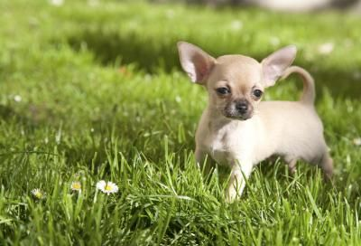 Signs Of Hypoglycemia In Chihuahuas Miniature Dog Breeds Dog