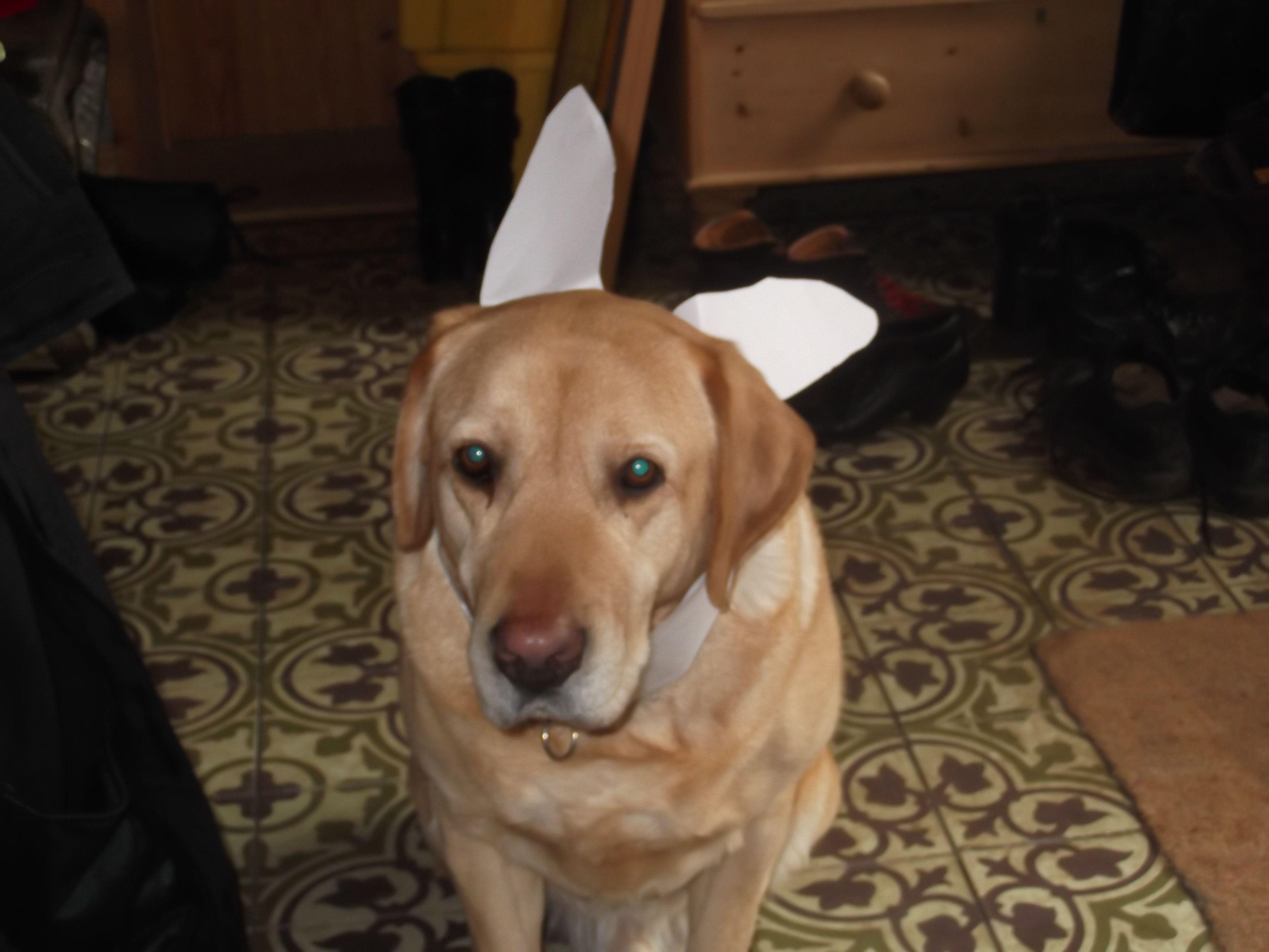 bunny ears Labrador puppy = CUTE