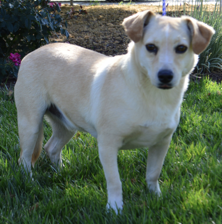 06 13 16 Sl Dachshund Pomeranian Mix Dog For Adoption In Madera