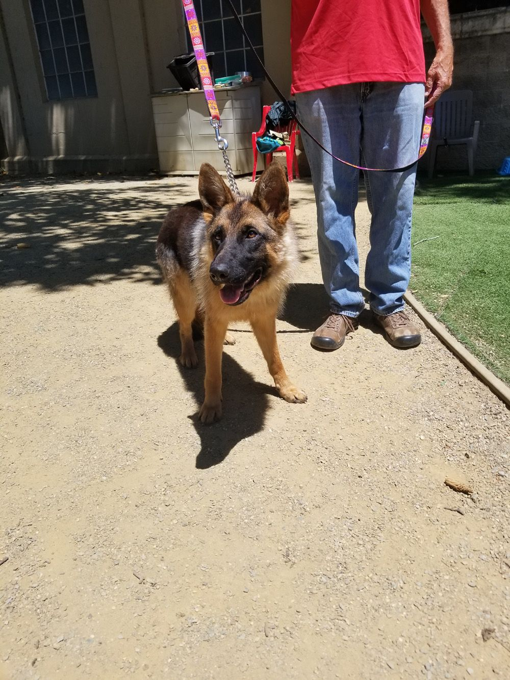 8 Month Old Glorie Is Heading To A Gsrnc Foster Home June 29