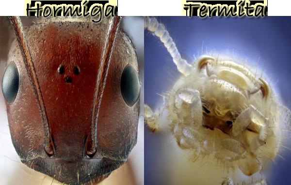 Hormigas. Todas las hormigas conocidas viven en colonias, son ...