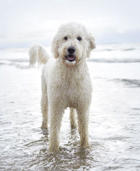 White Goldendoodle Puppy Goldendoodle White Goldendoodle