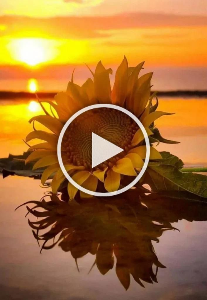 49  Sunflower wallpaper android - Beauty Tips #wallpaper #wallpaperiphone #wallpaperideas #sunflowerwallpaper 49  Sunflower wallpaper android - Beauty Tips #wallpaper #wallpaperiphone #wallpaperideas #sunflowerwallpaper