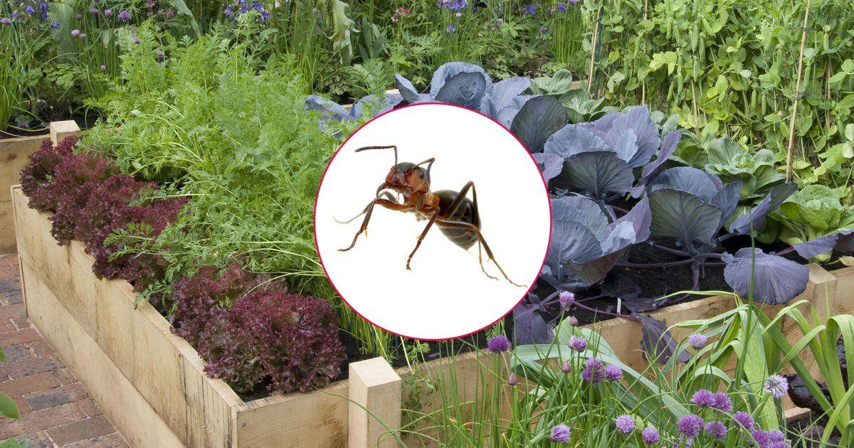 Ameisen Im Hochbeet Konnen Zur Plage Werden Mit Diesen Tipps Und Tricks Konnen Sie Sie Wirkungsvoll Aus Dem Hoc In 2020 Ameisen Im Hochbeet Hochbeet Ameisen Im Garten