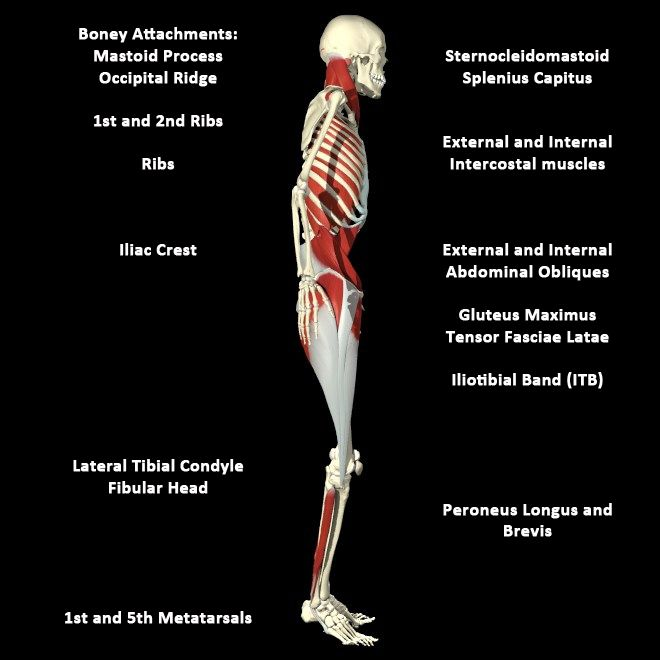Advanced Anatomy Myofascial Meridians Hip Anatomy Myofascial Anatomy