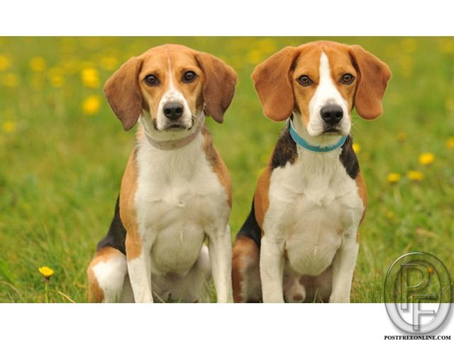 Beagle Dog Puppies For Sale In Mumbai Maharashtra India In Pet