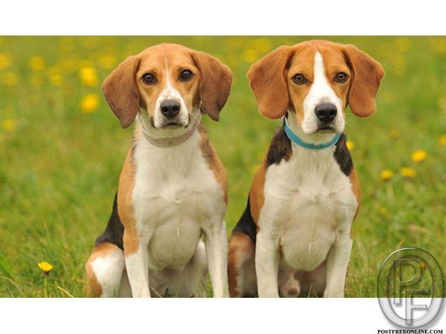 Beagle dog puppies for sale in Mumbai, Maharashtra, India