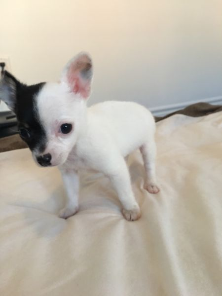 Mini Tcup chihuahua rehoming Dogs & Puppies for