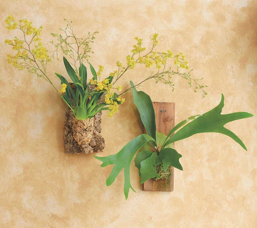 Oncidium Twinkle and Staghorn Fern | Gardening | Pinterest | Live ...