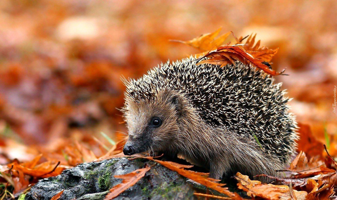Pin by Anja Angelskaja on Ёжики Hedgehog pet, Autumn