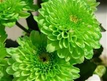 Green Flowers - - Yahoo Image Search Results