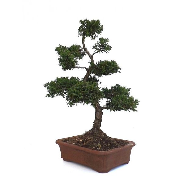 acheter un bonsa juniperus chinensis 45 cm jc140902 magasin bonsai en ligne sankaly bonsa. Black Bedroom Furniture Sets. Home Design Ideas