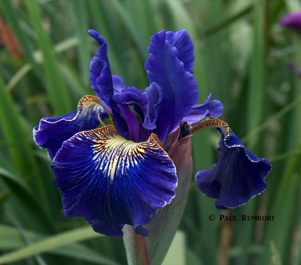 We Now Have Golden Edge Siberian Iris Lowes June 2 2016 Iris Flowers Plants Flowering Trees