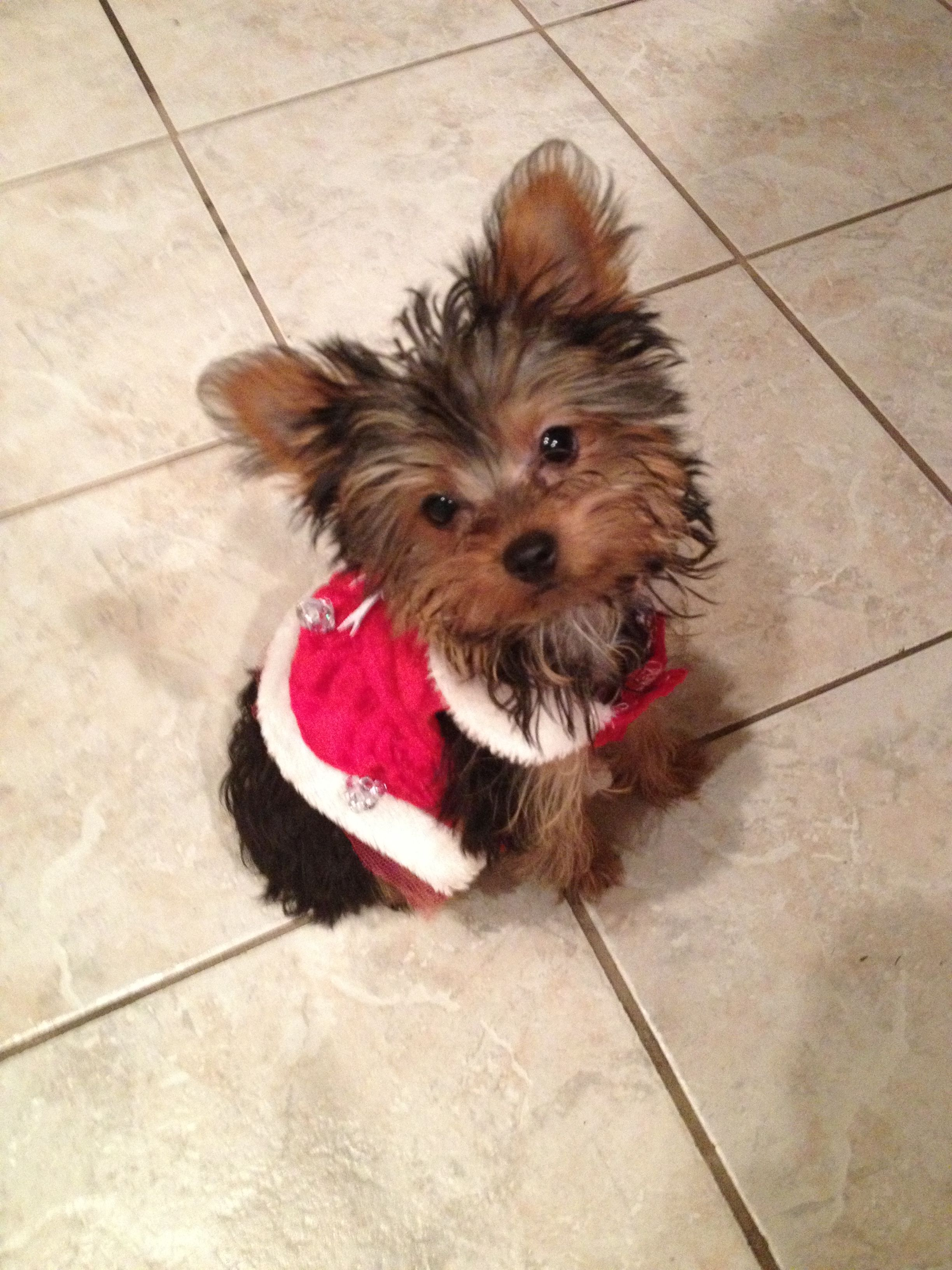 My Yorkie, Pyper, when she was a baby, all dressed up for