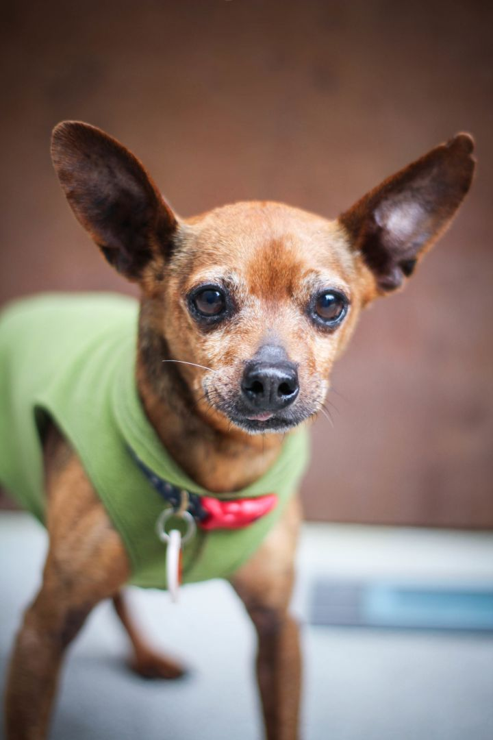 Adopt Slug On Dogs Dog Adoption Miniature Pinscher Dog