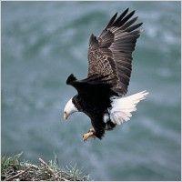 eagles nest flying bald eagle