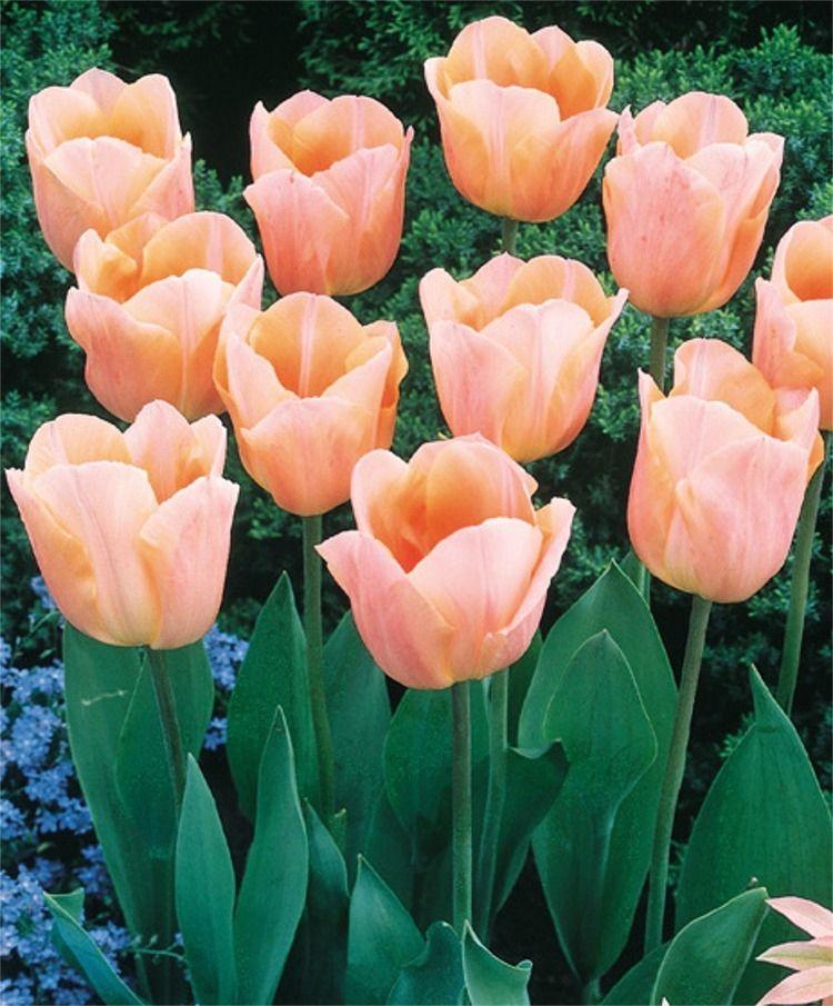 Tulip Apricot Beauty Triumph Tulips Tulips Flower Bulb Index Bulb Flowers Tulips Flowers Planting Tulips
