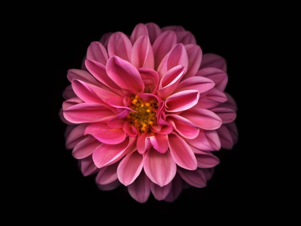 Pin By Jane On A Cold Slab On Black Background Images Flower Wallpaper Pretty Flowers Pink Wallpaper