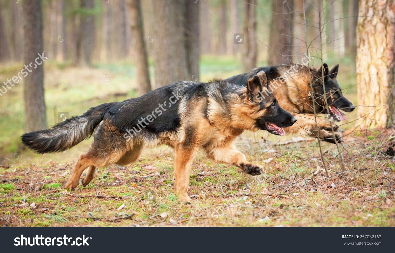 Two german shepherd dogs running in the park stock photo 257032162