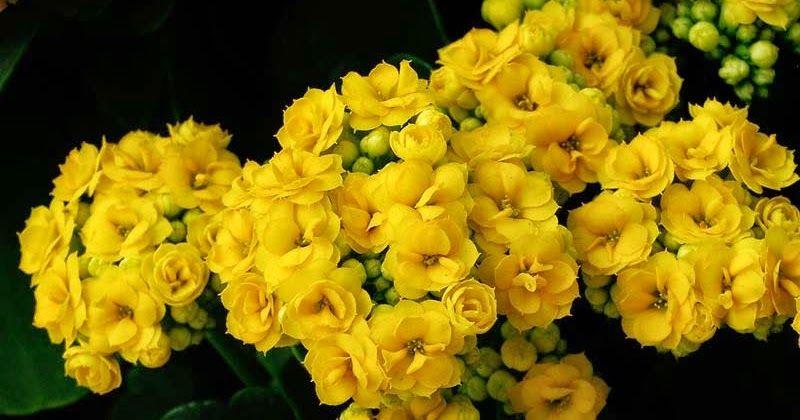 En çok kış aylarında çiçeklenmiş olarak satılan Kalanchoe blossfeldiana evlerde yetiştirilebilen, çok dayanıklı, … | Bitki, Etli yapraklı bitkiler, Saksıda çiçekler