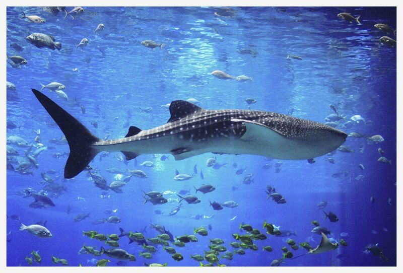 Pin by Des D.Y. on Underwater kingdom | Whale shark, Whale ...