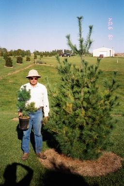 WindbreakTrees.com  before and after - white pine in 4 yrs growth