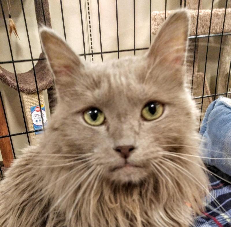 Adopt Bojangles Aka Bo On Nebelung Cat Nebelung Cat Adoption