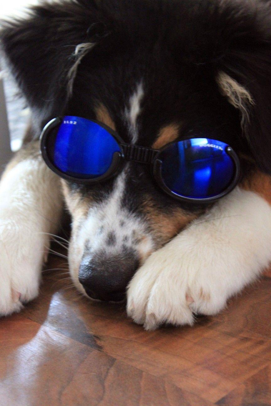 Sonnenbrille Fur Den Hund Von Doogles Schutzt Bei Starkem Wind