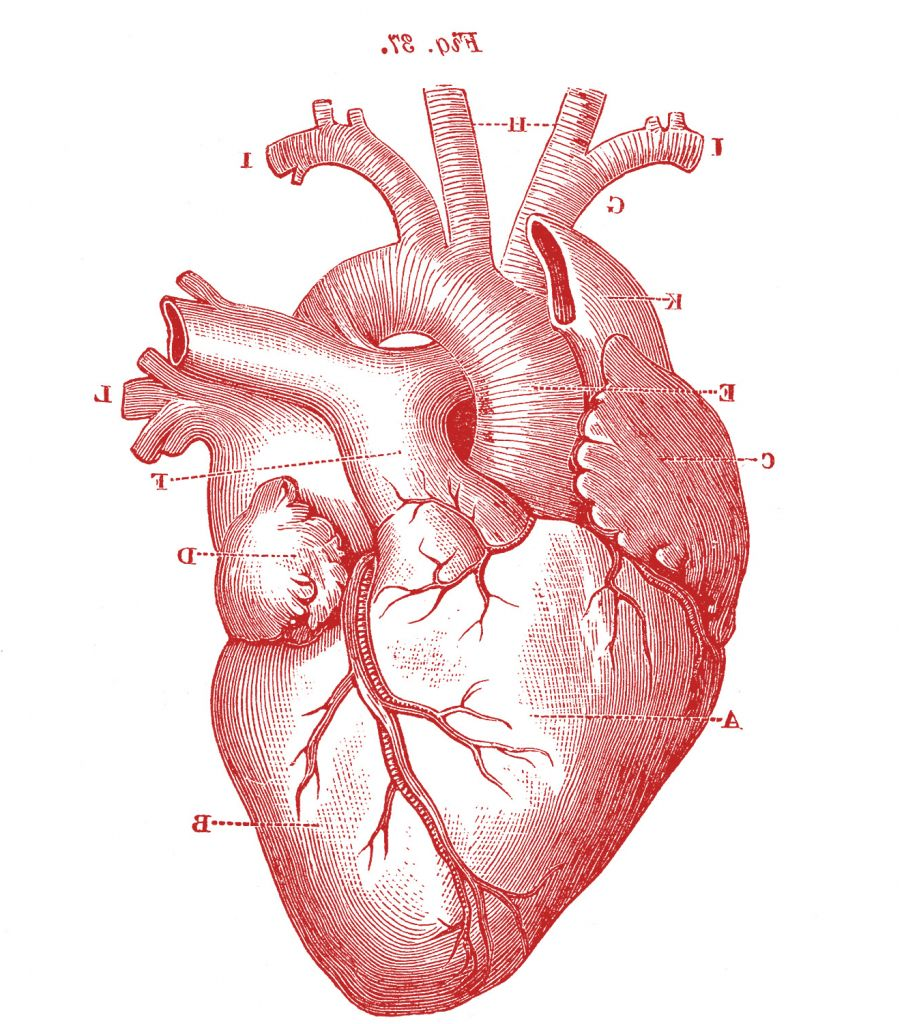 realistic heart drawing 1000 ideas about human heart on pinterestrealistic heart drawing 1000 ideas about human heart on pinterest anatomical heart
