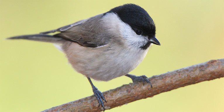 Wintervögel bestimmen Meisen im Vergleich - NABU Meisen