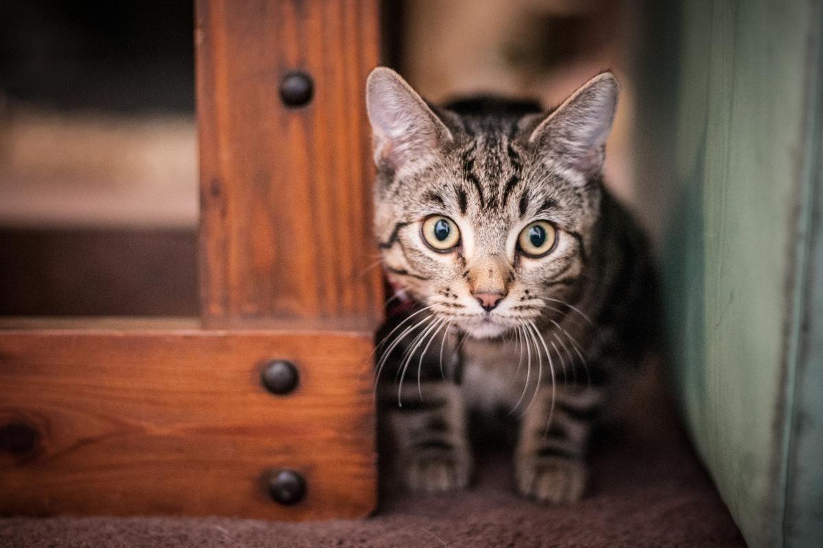Portrait Of A Mackerel Tabby Kitten A Mackerel Striped Fishbone Tabby Kitten With Yellow Eyes And The Charact Grey Tabby Kittens Grey Tabby Cats Tabby Kitten