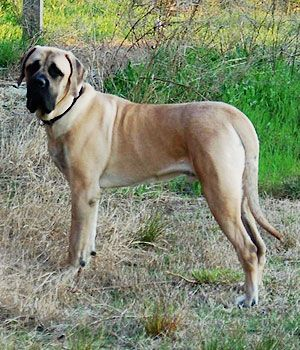 American Mastiff Breed Info Pictures