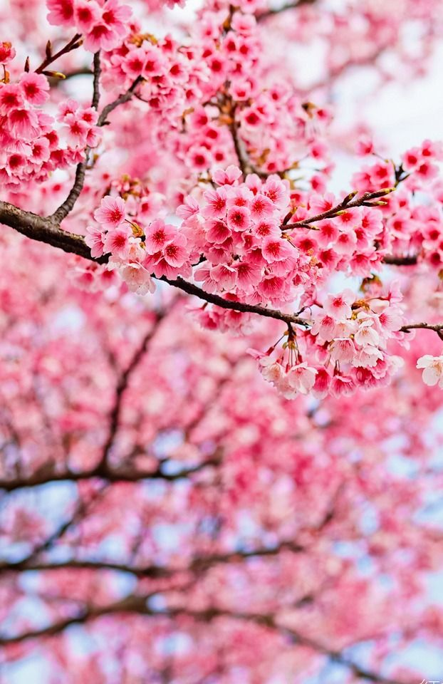 Out The Front Window Tumblr So Refreshing Aline Sakura Bloom Beautiful Flowers Flowers Nature