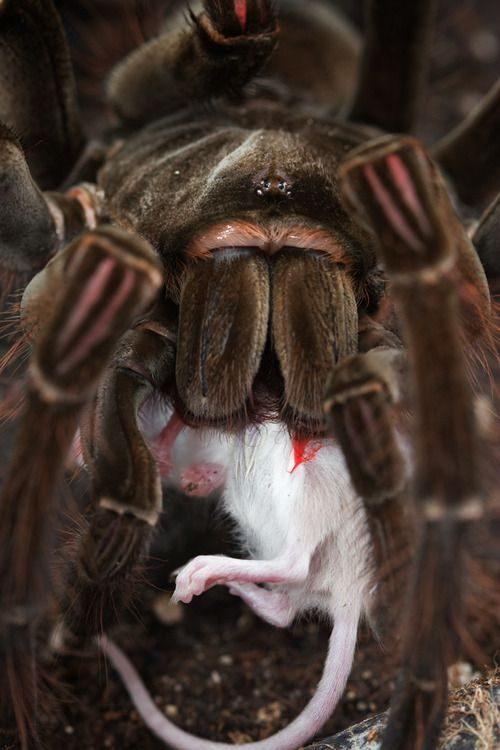 Tarantula with baby mouse   Spiders   Pinterest   Insectos, Araña y ...