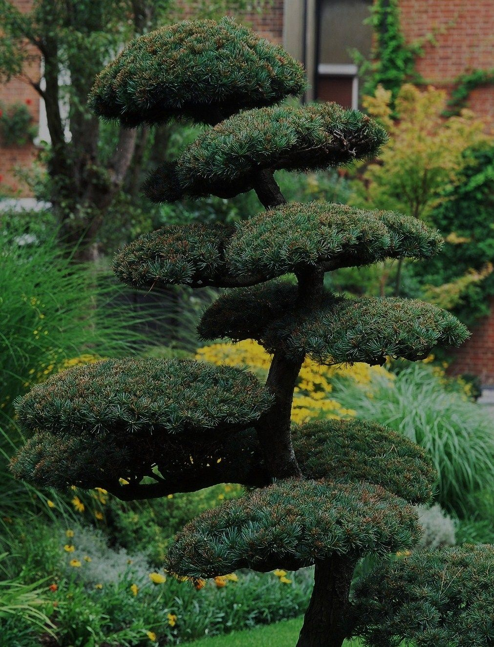Large specimen bonsai form topiary pinus sylvestris a for Japanese outdoor plants
