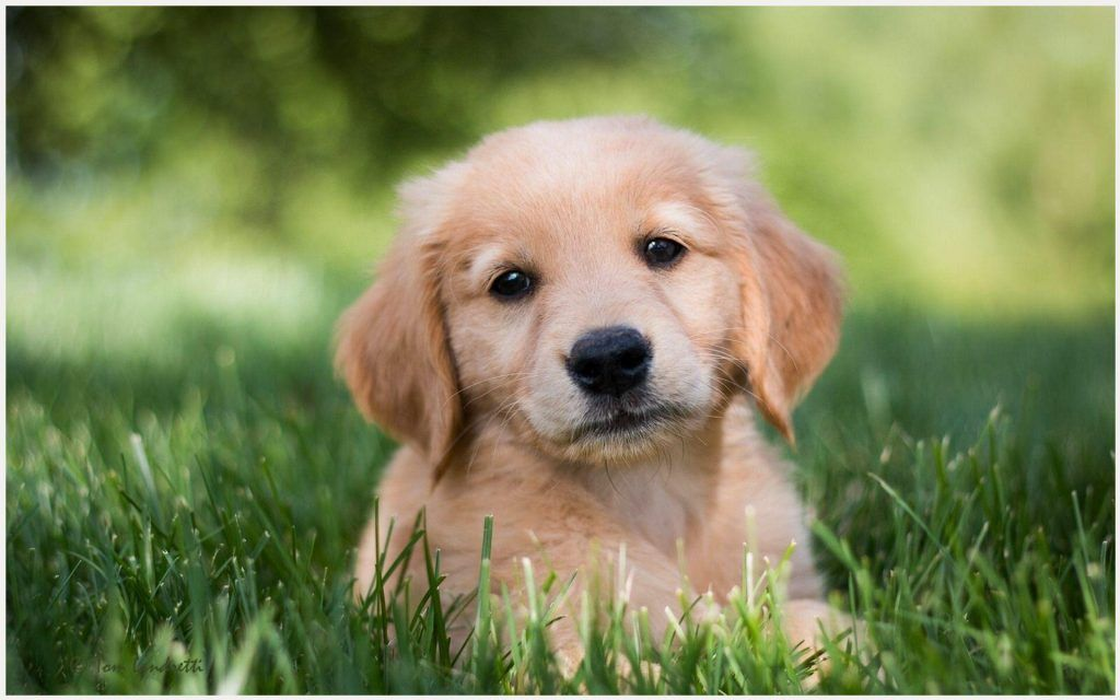 Golden Retriever Puppy Wallpaper Golden Retriever Puppies