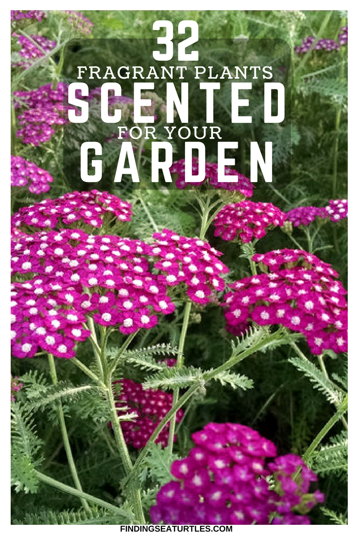 32 Most Fragrant Perennials Flowers For My Gardens Pinterest