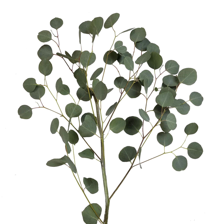 Silver Dollar Eucalyptus 40 Stems Sam S Club In 2020 Silver Dollar Eucalyptus Flower Care Asparagus Fern
