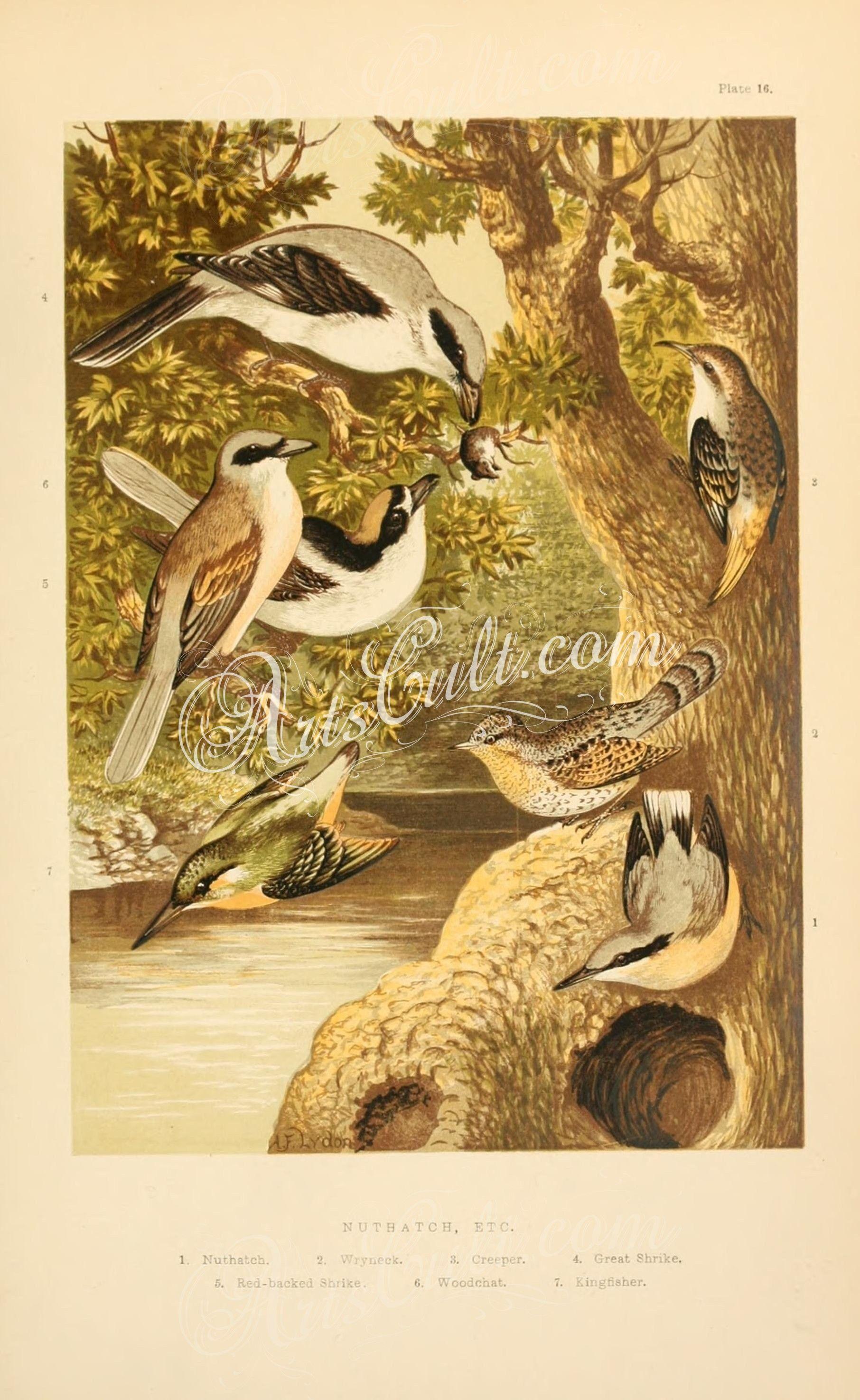 birds-23886 Nuthatch, Wryneck, Creeper, Great Shrike, Red-backed ...