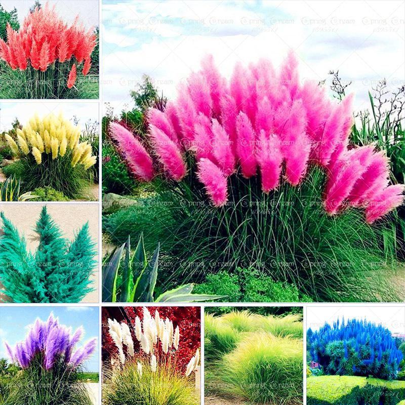 500//1000Pcs Rare Pampas Grass Cortaderia Selloana Seeds Perennial Plant 6 Colors