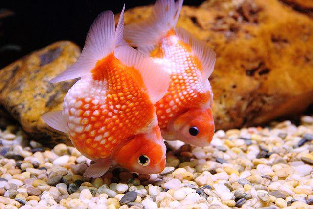 Pearlscale Goldfish Fantail Goldfish Goldfish Goldfish Species