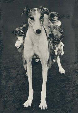 Lady Greyhound Steverino With Pups Greyhound Puppy Grey Hound Dog Vintage Dog
