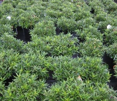 Sweetbox Fragrant Valley 2 Spring Plants Garden Plants