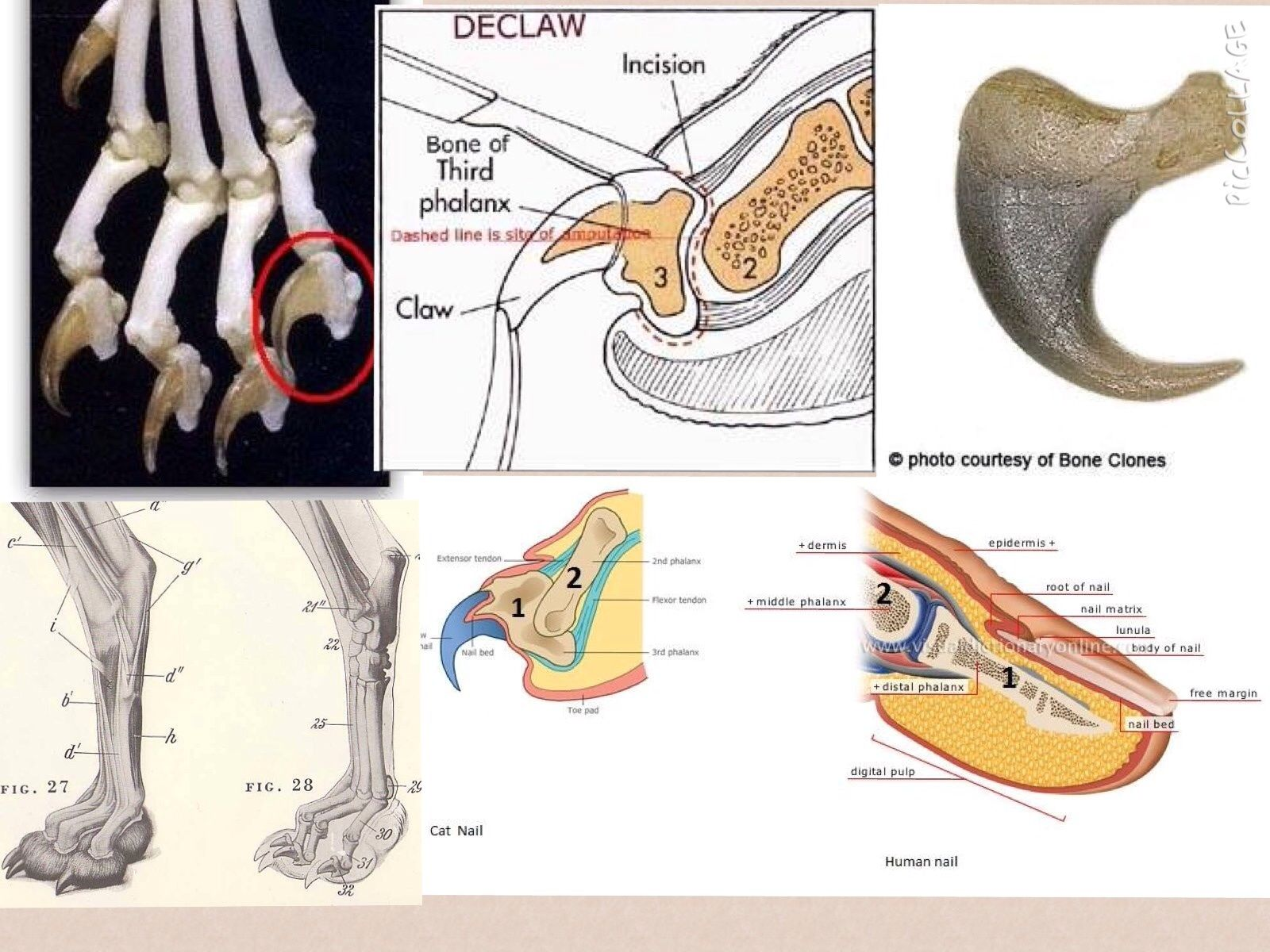 If you are still skeptical that declawing is the removal a